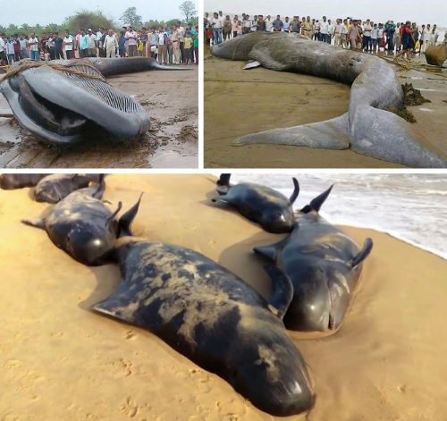 Figure 1. Recent marine mammal strandings along the Indian coast. Upper left: a 42-foot blue whale stranded off the Alibag coast (Maharashtra) in June 2015. Upper right: a 50-foot Bryde's whale stranded near Mumbai in January 2016. Below: some of the over 90 short-finned pilot whales stranded at Tuticorin (Tamil Nadu) in January 2016.